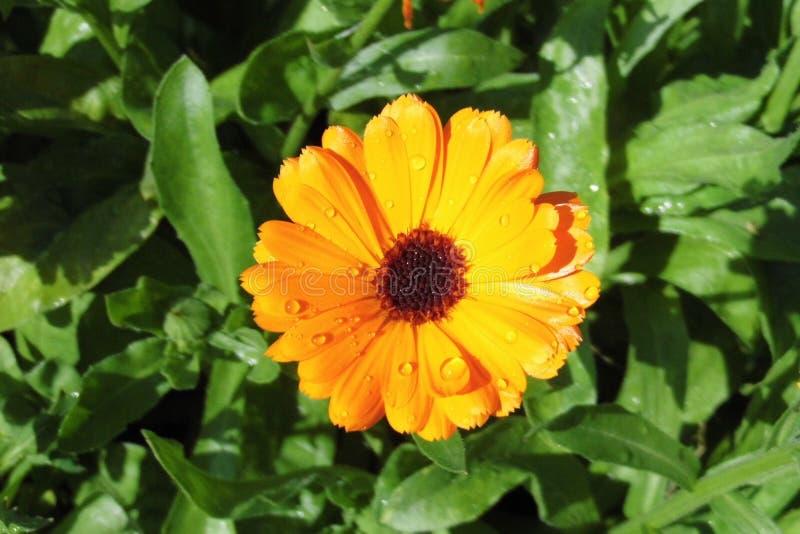 Marigold Calendula officinalis royalty free stock photography