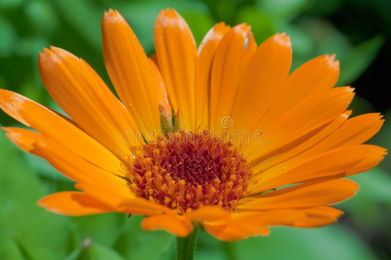 Download Marigold close up stock photo. Image of blue, color, summer - 12098638