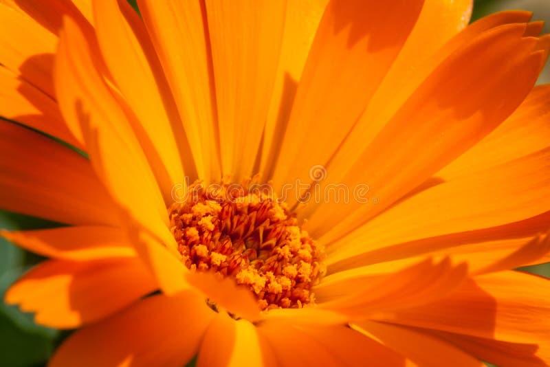 Marigold. Close-up of a marigold royalty free stock images