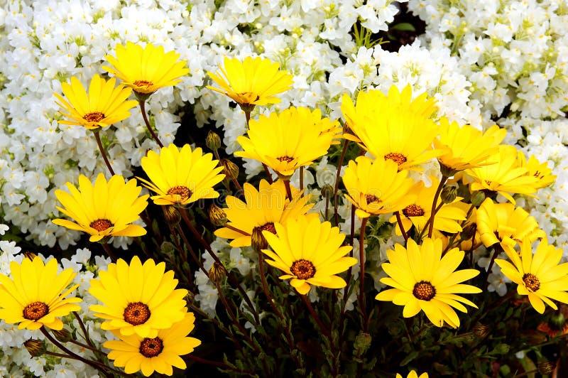 Marigold de cabo do inverno fotos de stock