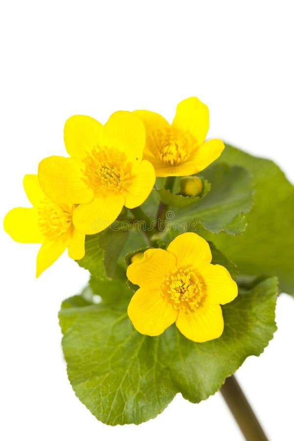 Marigold de pântano imagens de stock