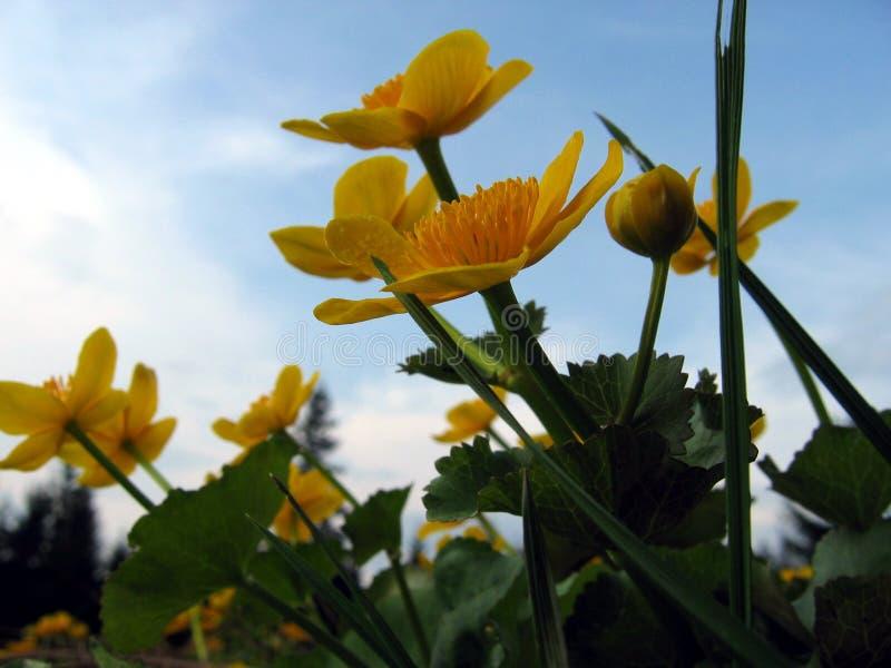 Download Marigold de pântano foto de stock. Imagem de amarelo, montanhas - 542712