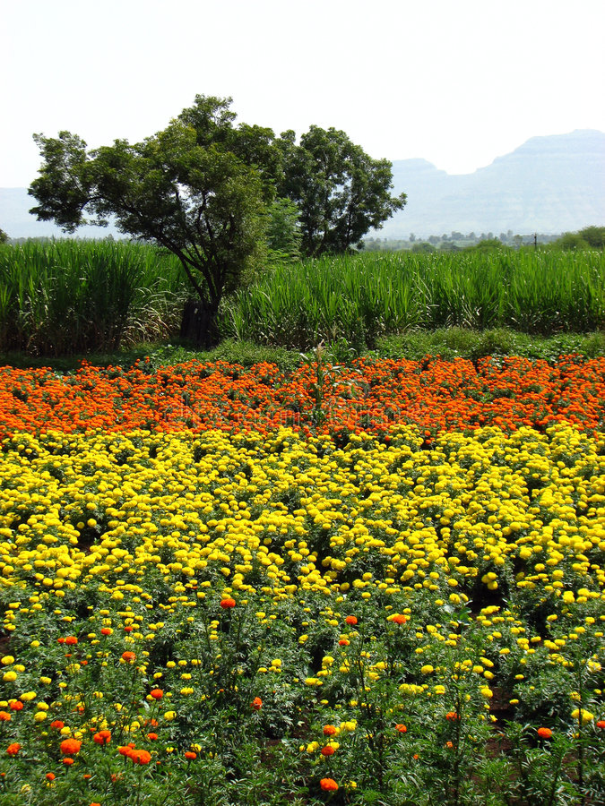 Download Marigold Farms stock image. Image of crop, backgrounds - 5838351