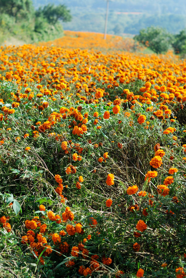 Download Marigold field stock photo. Image of common, golden, happiness - 29990072