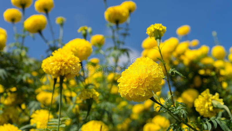 Marigold fields. With blue sky color royalty free stock images
