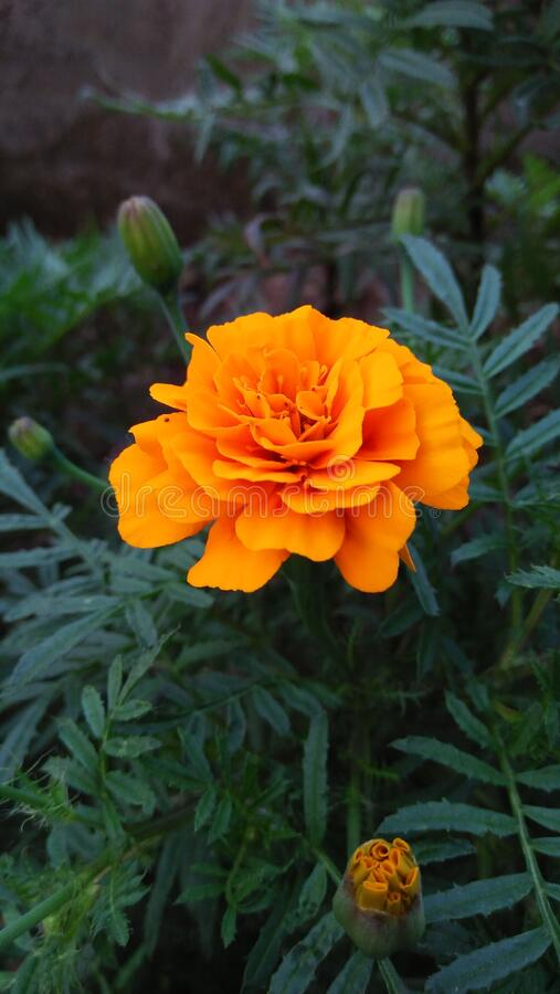 Marigold imagem de stock royalty free