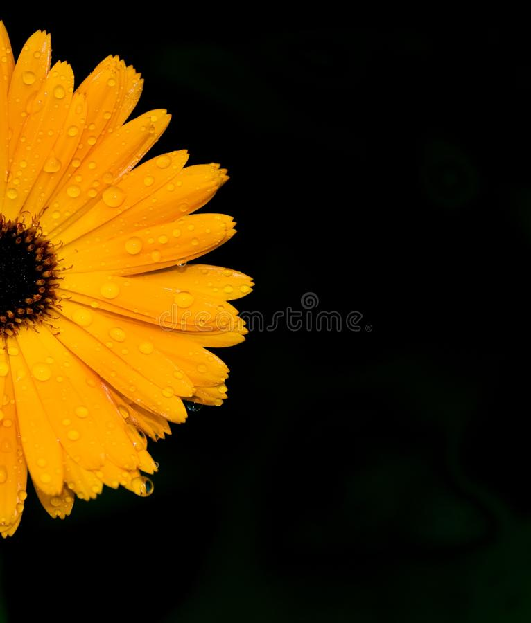 Marigold-flower royalty free stock photography