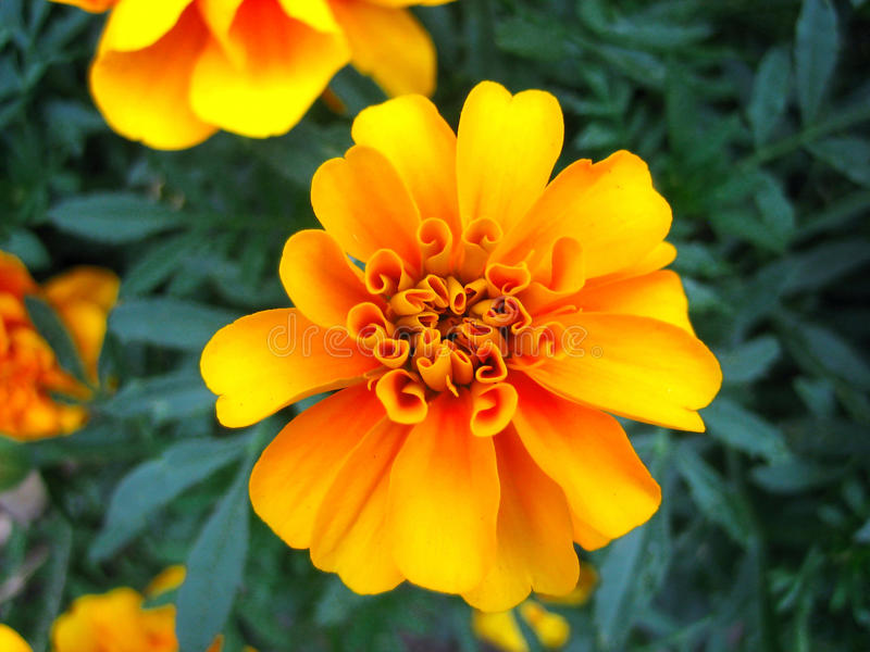 Download Marigold flower stock photo. Image of beauty, summer - 13335510