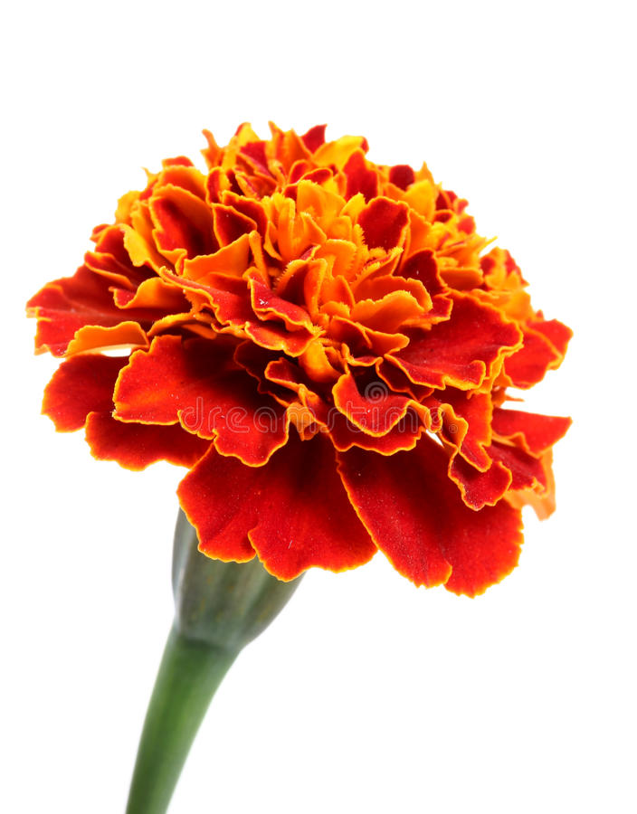 Marigold flower. Beautiful shot of marigold flower against white background stock photos