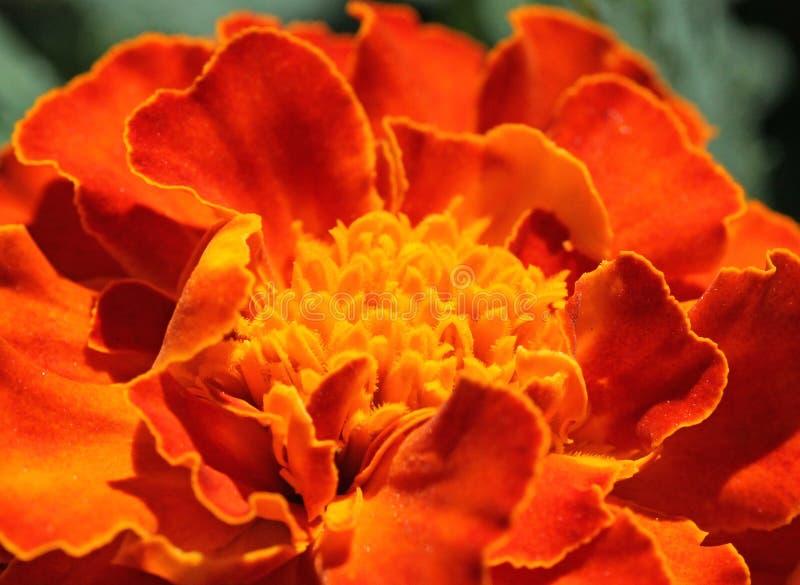 Download Marigold flower stock photo. Image of petals, flora, macro - 29399884