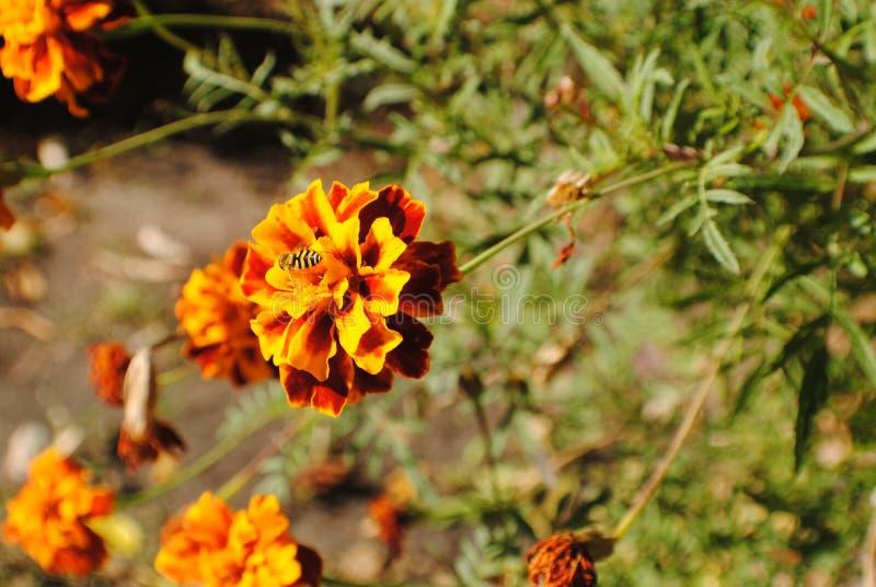 Marigold flower with a bee macro shot stock photos