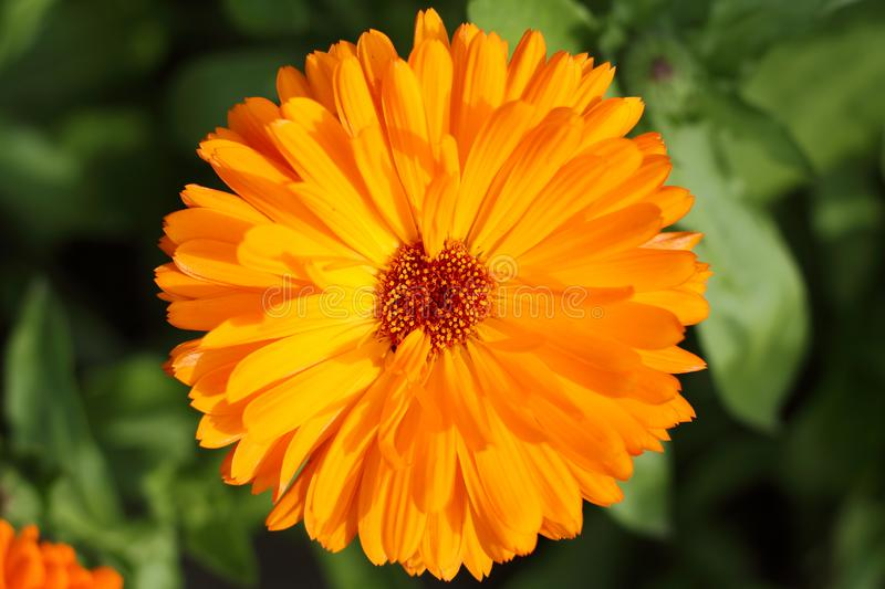 Marigold flower  Calendula on a garden top view royalty free stock images