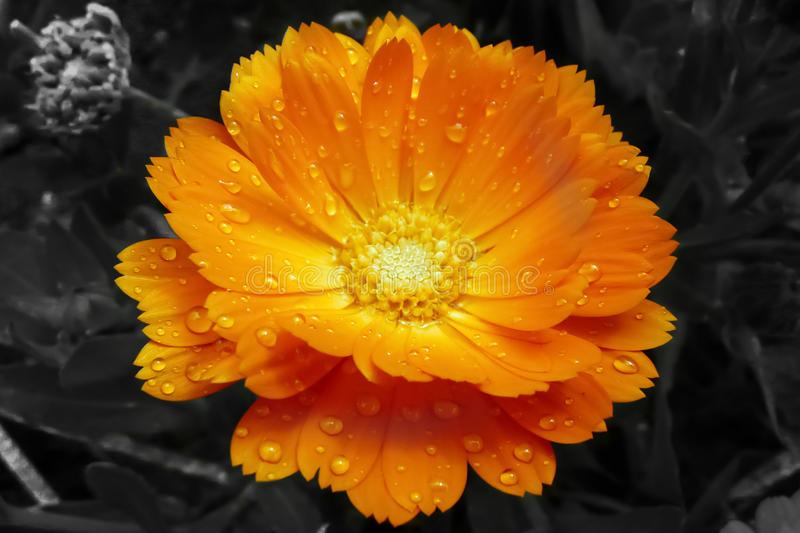 Marigold. Flower closeup covered with raindrops royalty free stock images