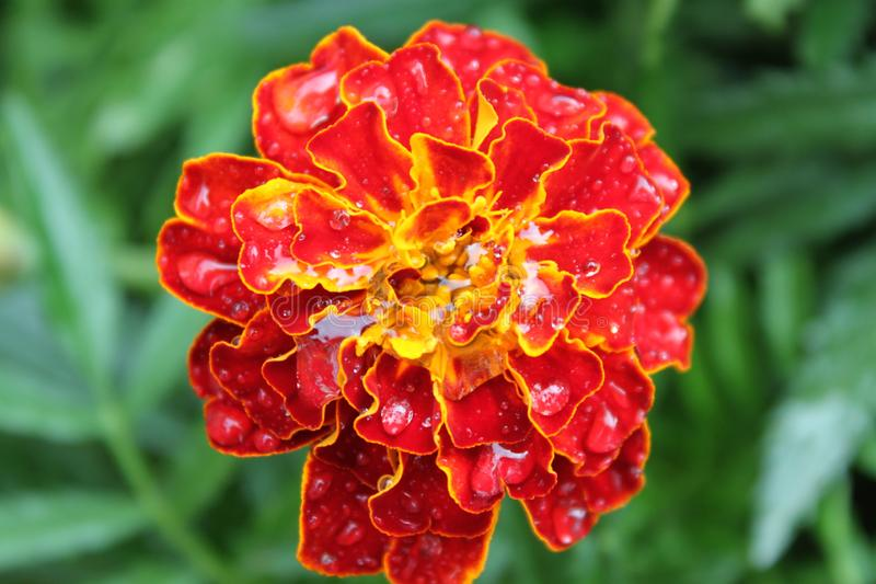 Marigold flower with dew drops. Red marigold flower with dew drops on a background of green leaves royalty free stock photography