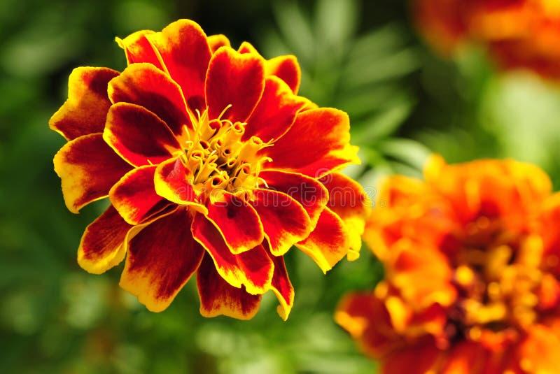 Marigold. Flower in full bloom stock photo