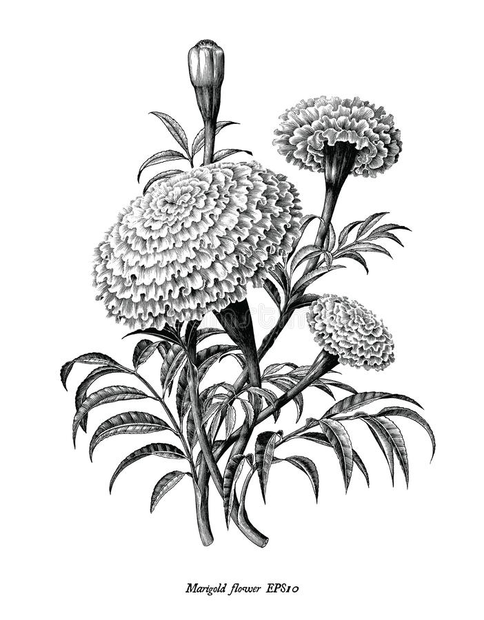 Free Marigold Flower Hand Draw Vintage Style Black And White Clip Art Isolated On White Background Royalty Free Stock Image - 151057686