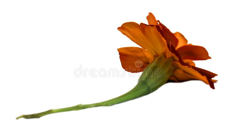Marigold flower isolated lies on white digital painting royalty free stock image