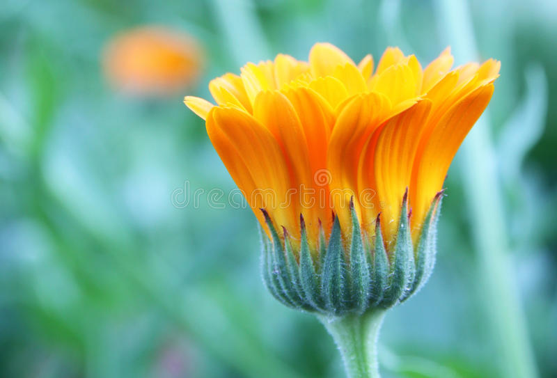 Marigold flower. In macro shot of a green blur background royalty free stock photography