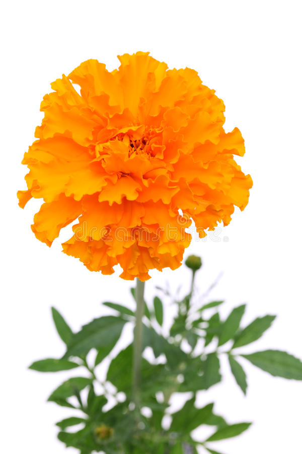 Download Marigold flower stock image. Image of happiness, cheerful - 43003573