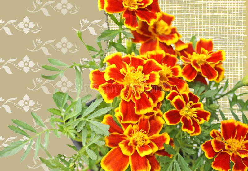 The Marigold flower with petals of bright yellow and orange  on a patterned background.  stock photography