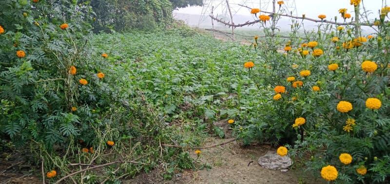 kalendula floro terpomo arbo verda folio kalendula floro terpomo arbo verdaj folioj kreskis kampo 167625434