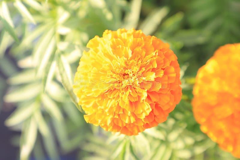 Marigold flower pots photos royalty free stock photos