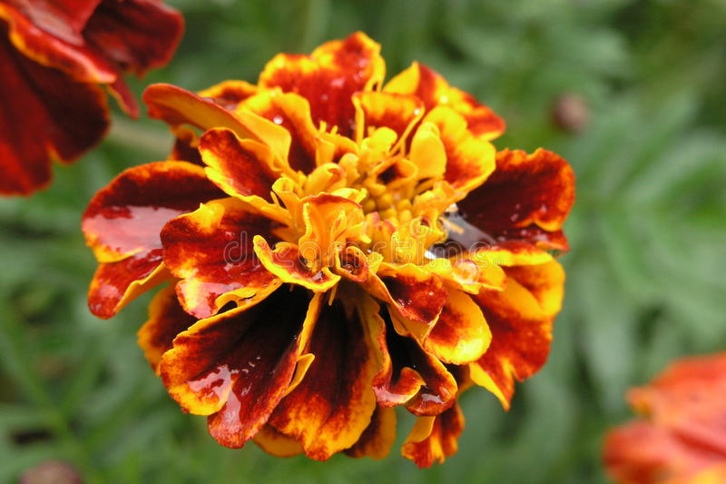 Marigold flower after the rain stock images