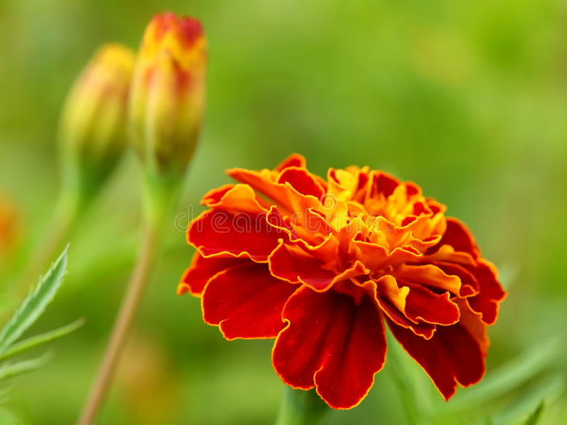 Marigold flower. Red and yellow marigold flower close-up image stock photo