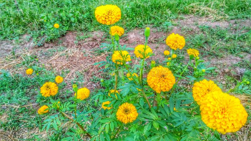 Marigold Flower Yellow Garden stock image