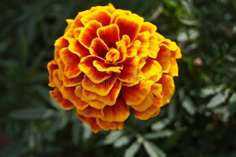 Marigold flower with yellow and orange petals. On a bush with green leaves royalty free stock photos
