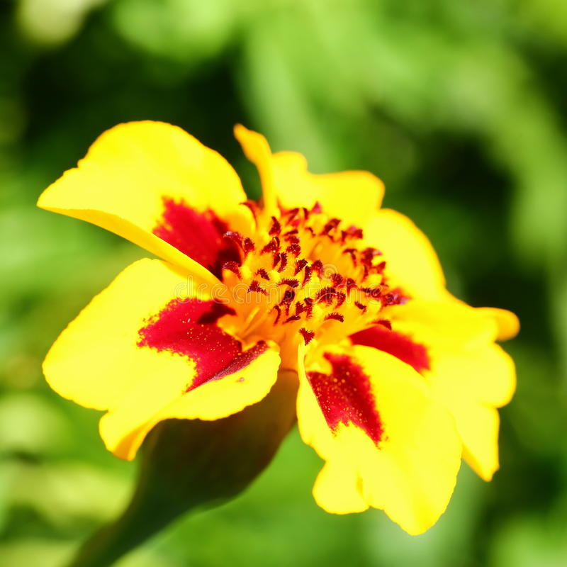 Marigold flower. Yellow and red marigold flower close-up image royalty free stock photography
