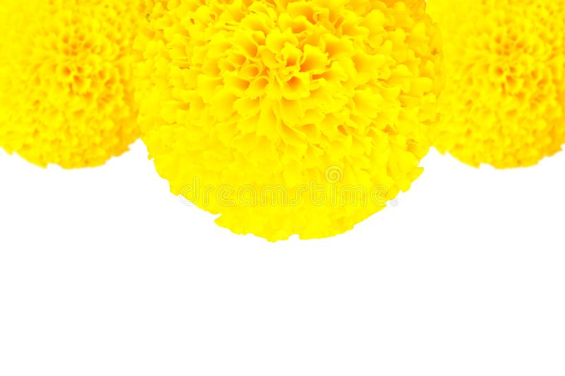 Marigold flower yellow texture beautiful on white background with copy space add text stock photos