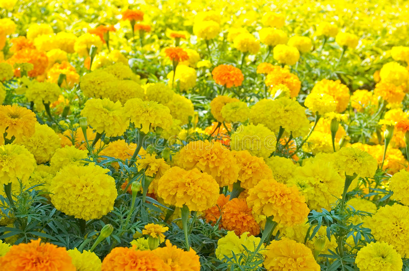 Download Marigold Flowerbed 2 stock image. Image of yellow, spring - 73373