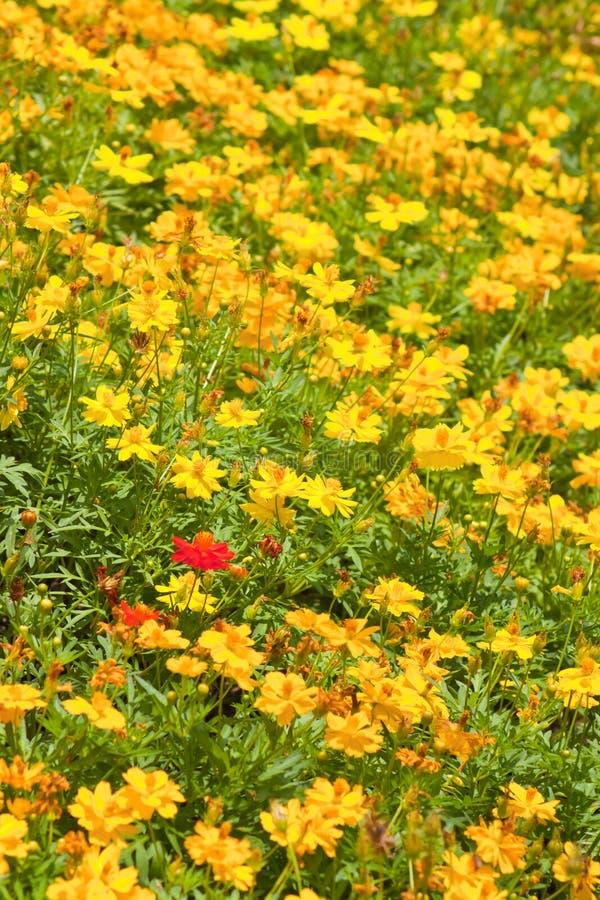 Free Marigold Flowers Stock Image - 23779191