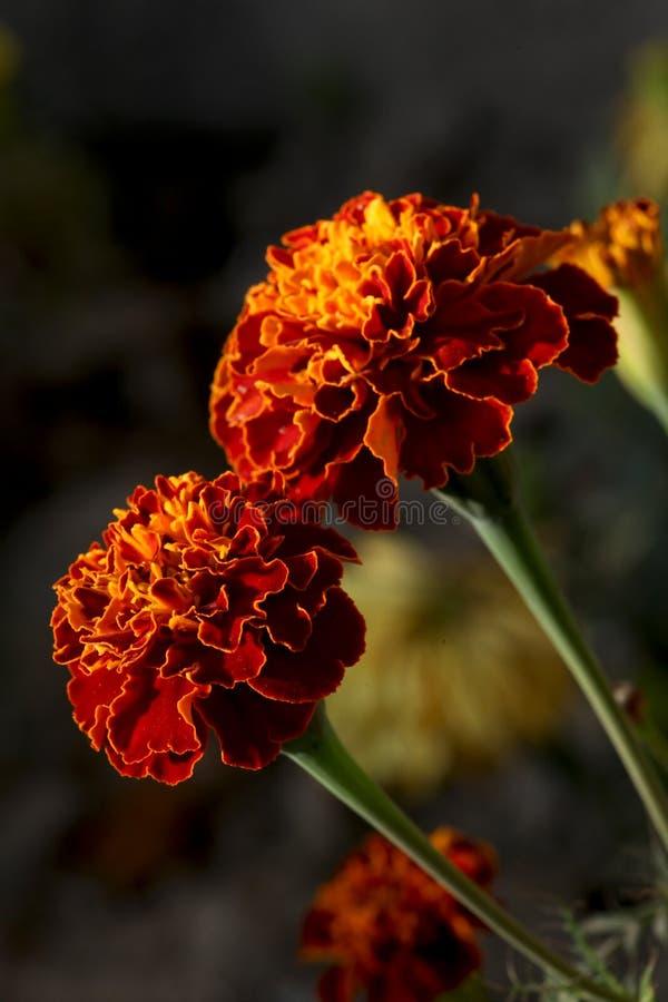 Marigold flowers. Beautiful shot of marigold flowers royalty free stock images