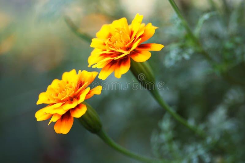 Marigold flowers stock photos