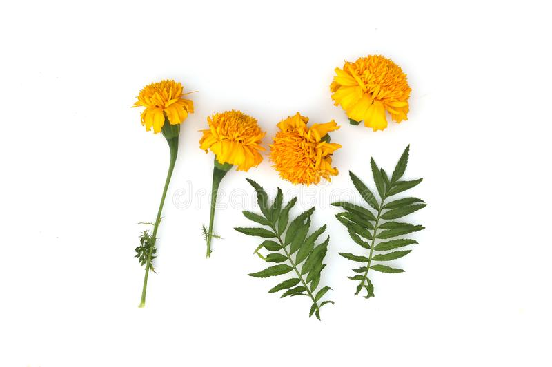 Marigold flowers so beautiful, yellow Marigold flower, Tagetes erecta, Mexican marigold, Aztec marigold, isolated on white stock photo