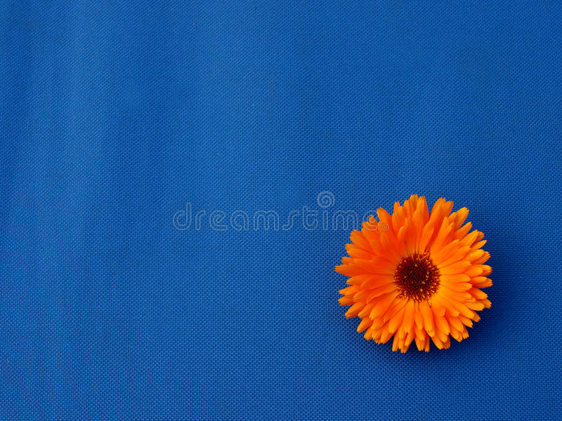 Marigold flowers on blue material background royalty free stock photo