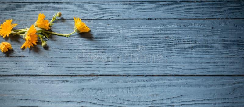 marigold on blue wooden background stock image