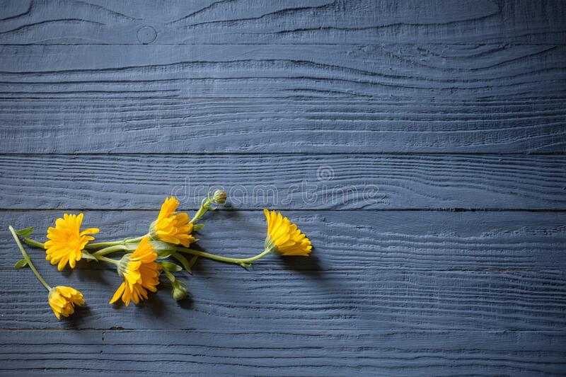 marigold on blue wooden background stock photography