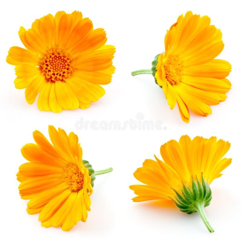 Marigold flowers. Calendula. flowers on white. set. Marigold flowers. Calendula. flowers on white. collection royalty free stock photos
