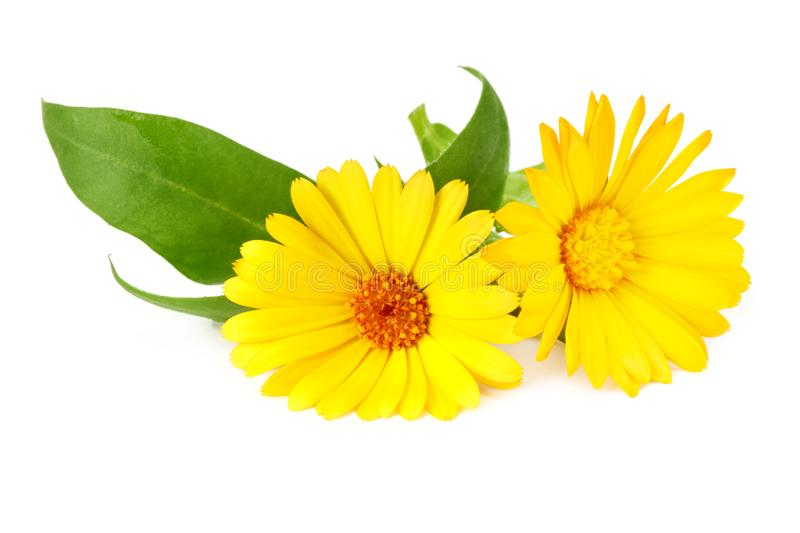 Marigold flowers with green leaf isolated on white background. Calendula flower stock photography