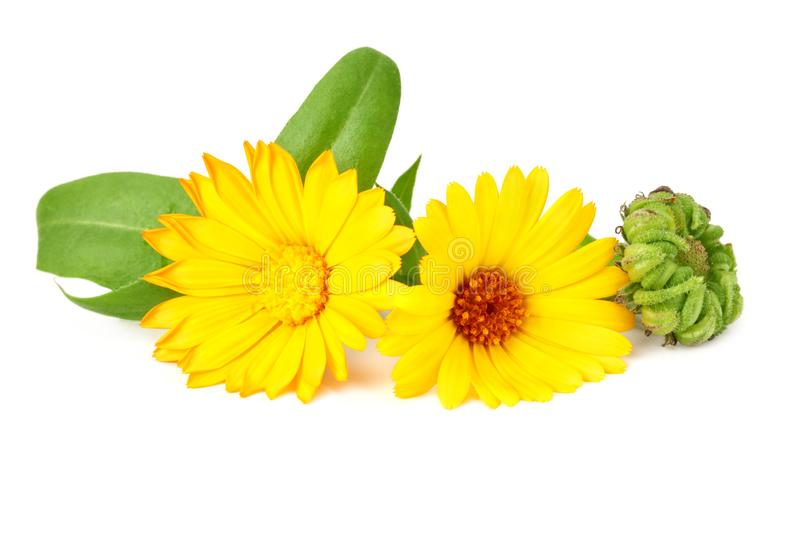Marigold flowers with green leaf isolated on white background. Calendula flower royalty free stock images
