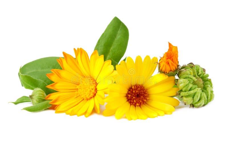 Marigold flowers with green leaf isolated on white background. Calendula flower royalty free stock image