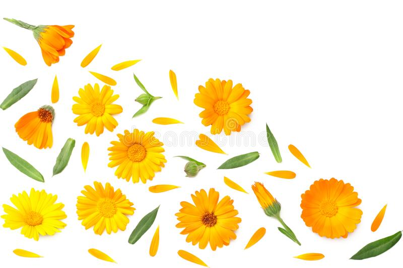 marigold flowers with green leaf isolated on white background. calendula flower. top view stock photo
