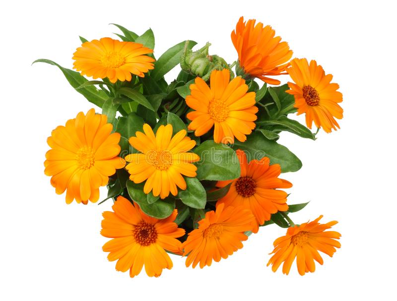 Marigold flowers with green leaf isolated on white background. calendula flower. top view royalty free stock photos