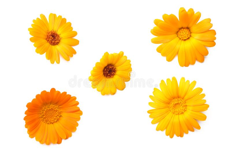 marigold flowers isolated on white background. calendula flower. top view royalty free stock photography