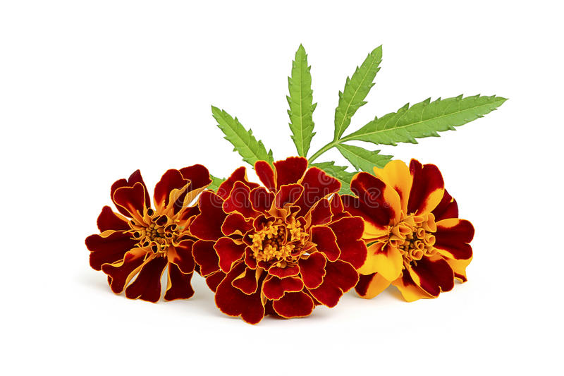 Marigold flowers with leaves. Marigold flowers with leaves close-up on white background stock images