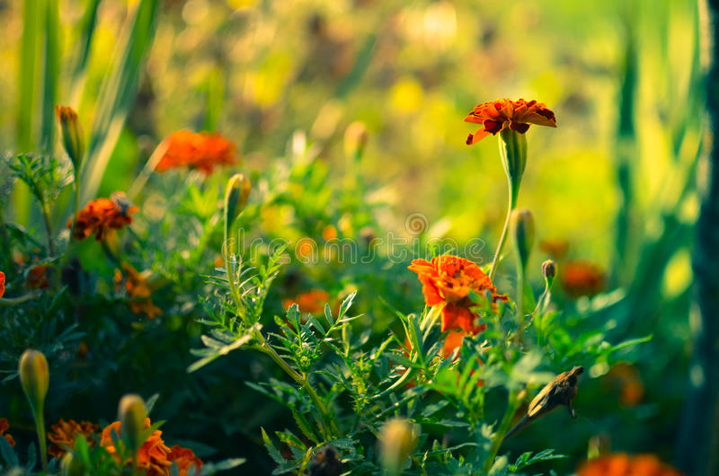 Marigold flowers in the meadow. In the sunlight royalty free stock images