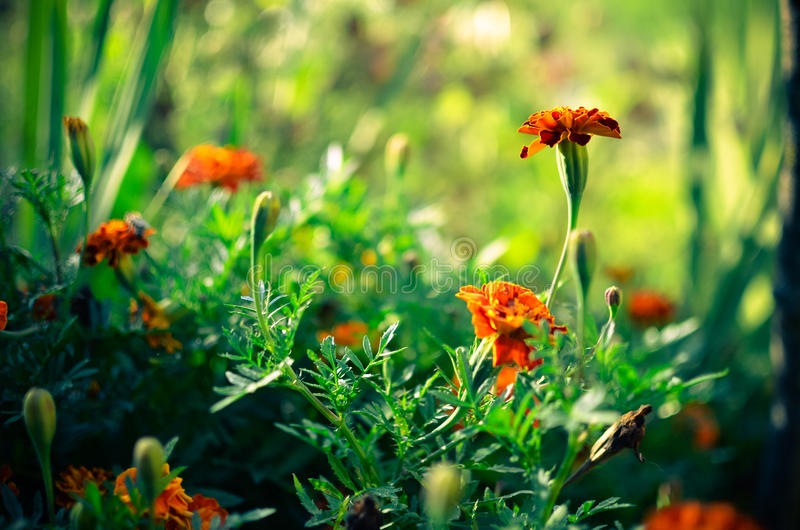 Marigold flowers in the meadow in the sunlight.  royalty free stock photos